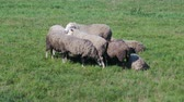 zegarek : Few young sheep are huddled together, hugging each other in a green meadow and basking in the cold wind. Free-range herd Wideo