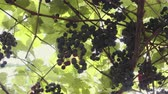 incasso : Ripe, juicy grapes, ready for harvest. Sort of Isabella. Vine with berries and green leaves in the sun Stockvideo