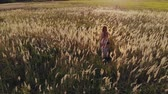 omuz : Aerial: rear view of a pretty young hippie woman with a camera on her shoulder walking through an agricultural field at sunset and touching the dry tall grass. Girl in a sundress in nature