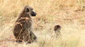Mother and baby baboon in Masai Mara