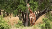 Giraffe eating from an acacia tree in Masai Mara, Kenya during the dry season
