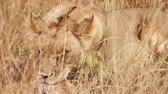 Lioness sleeping in the grass, Masai Mara