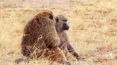 Mother, father and baby baboon in Masai Mara