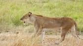 Lioness walking in the grass, Masai Mara