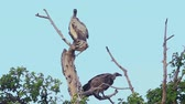 Vultures on a tree, Masai Mara