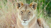 Lioness falling asleep in the grass, Masai Mara
