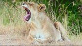 Lioness yawning in the grass, Masai Mara Wideo