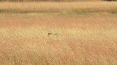 Male cheetah walking in grass and looking for its pray in Masai Mara, Kenya Wideo
