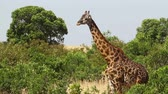 Giraffe in Masai Mara, Kenya during the dry season