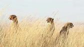 Three male cheetahs standing and looking around in the high grass in Masai Mara, Kenya