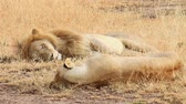 Mating lions lying down on the grass in Masai Mara, Kenya during the dry season