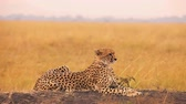 Male cheetah sitting in grass and looking for its pray in Masai Mara, Kenya Wideo