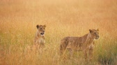 Female lions looking around in the grass in Masai Mara, Kenya