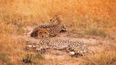 Two cheetahs lying in grass having a rest after eating in Masai Mara, Kenya Wideo