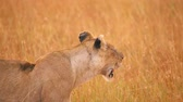 Old female lion lwith injuries ooking around in the grass in Masai Mara, Kenya