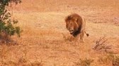 Male lion walking in Masai Mara, Kenya Wideo