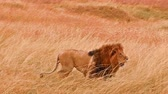 Male lion standing up and walking in Masai Mara, Kenya Wideo
