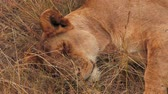 Female lion falling asleep in the grass in Masai Mara, Kenya