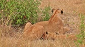 Female lion with a cub sitting in the grass and looking away in Masai Mara, Kenya