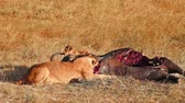 Lioness with cub eating a buffalo corps at sunset in Masai Mara, Kenya