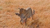 Female leopard walking in grass and carrying its pray in its mouth - young baby warthog, Masai Mara, Kenya Wideo