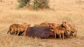 Hyenas eating a pray, Masai Mara