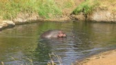 Hippopotamus mating in the water, Masai Mara, Kenya Wideo