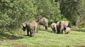 Elephants eating grass at noon in Masai Mara national park in Kenya