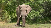 Elephant eating grass at noon in Masai Mara national park in Kenya Wideo
