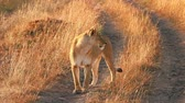 Female lion standing on the road and looking around in Masai Mara, Kenya Wideo