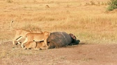 Pride of lions eating a pray in Masai Mara, Kenya