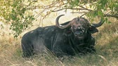 Male buffalo sitting and eating grass in Masai Mara, Kenya Wideo