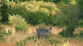 Waterbuck eating in Masai Mara in Kenya during the dry season