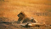 Lions lying exhausted after mating in Masai Mara, Kenya during the dry season