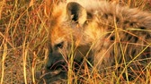 babies : Hyena eating a pray - buffalo head, Masai Mara