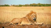 Male lion lying in the grass at sunset, yawning and getting up, Masai Mara, Kenya