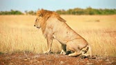 Male lion lying down in Masai Mara, Kenya Wideo