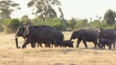 Elephants walking and eating grass in Amboseli Park, Kenya Wideo