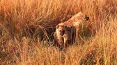 Two spotted hyenas just come out from their hole, Masai Mara