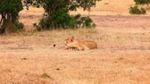 Two lionesses lying down and enjoying mutual grooming in Masai Mara, Kenya
