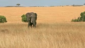 Elephant alone eating grass at noon in Masai Mara national park in Kenya