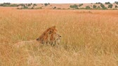 Male lion lying in the grass in Masai Mara, Kenya