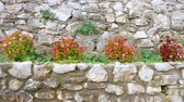 florescence : Track shot of Begonias plants in an old stone wall.
