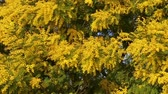Mimosa plant in full bloom with its yellow branches blowing in the wind.