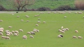Flock of sheep grazing in a grassy meadow in the Lazio countryside in Italy.