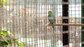atravessar : Wavy parrot sits on a perch in a zoo cage, past the people go.