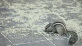 timid : Chipmunk eating grain on the ground. Stock Footage