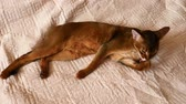 vista : Abyssinian cat washes lying on beige blanket