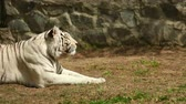 jaro : The white tiger is lying on the grass and basking in the spring sunshine