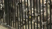 catta : Ringtailed lemur Lemur catta in zoo Stock Footage